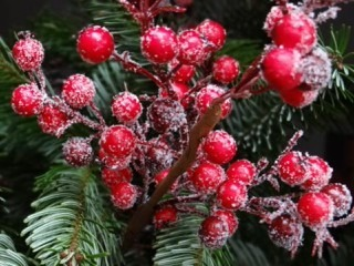 red-christmas-berries-67154_960_720.jpg